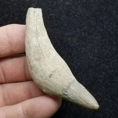 #0898 Aurora Enameled tipped Whale Tooth