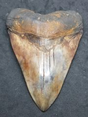 "#0824 Mottled.Colored ""Red Site"" Megalodon shark tooth"