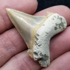 #0884 Gorgeous colored Angustidens shark tooth