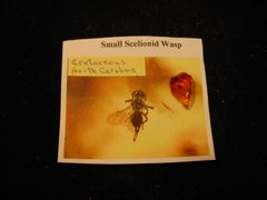 Fossil Cretaceous Wasp in N.C. Amber
