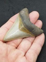 #0804 Small Venice Beach Megalodon shark tooth