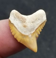 #0850 Orange colored Bone Valley Galeocerdo myumbensis shark tooth
