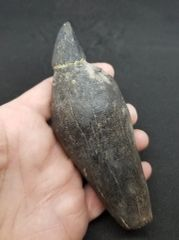 #0801 Enameled Cap Fossil Sperm Whale tooth