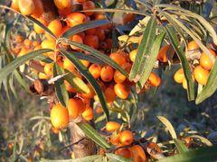 Sea Buckthorn Berry CO2