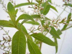 Verbena (lemon)