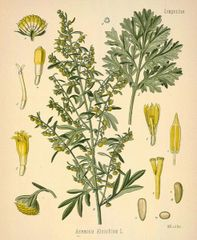 Artemesi (Wormwood)
