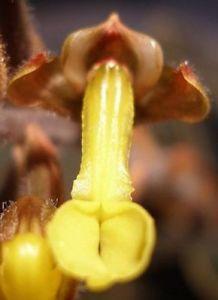 anectochillus chapaensis