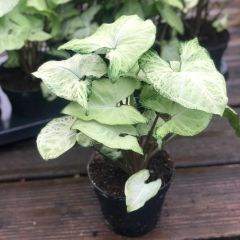 Syngonium 'White Butterfly' Plant in 12cm Pot | Arrow Head | Indoor Houseplant
