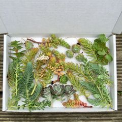 Sedum Selection Box | 25 Fresh Mixed Sedum and Alpine Cuttings