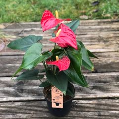 Anthurium Robino Red In 12cm Pot | 1 Plant | Indoor Flowering House Plant
