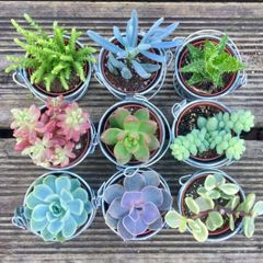 100 Wedding Favour Succulents in 6cm Zinc Buckets