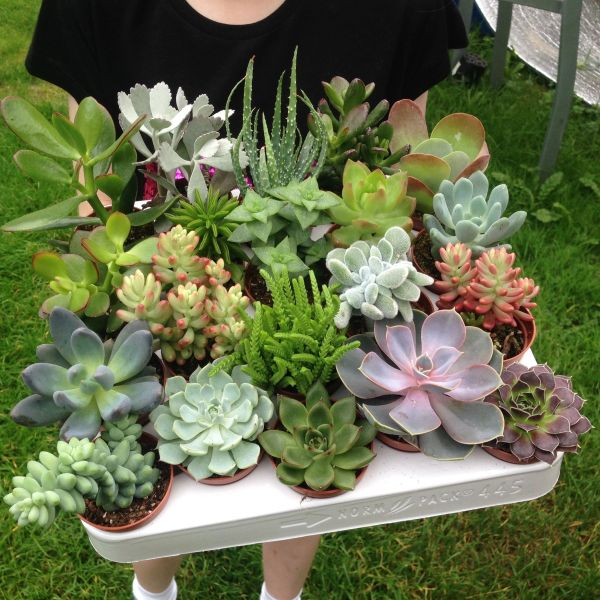 Set of 10 Mixed Succulent Plants in 5.5cm Pots