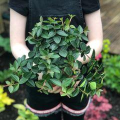 Peperomia angulata 'Rocca Scuro' in 12cm Pot | Indoor Houseplant
