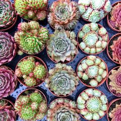 Set of 3 Mixed Sempervivum/Hen and Chicks Alpine Succulent Plants in 5.5cm Pots