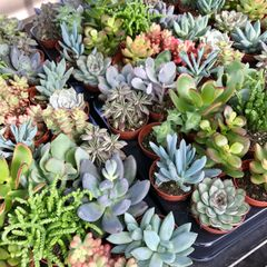 120 Mixed Succulents - Custom Listing