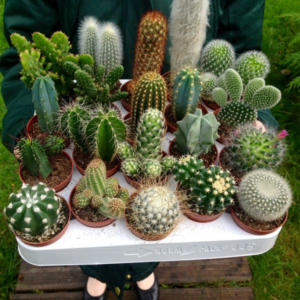Set of 10 Mixed Cactus Plants in 5.5cm Pots