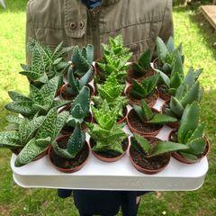 Set of 5 Mixed Aloe Plants in 5.5cm Pots