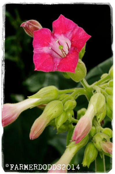 Nicotiana tabacum 'Red Russian' 1000+ SEEDS
