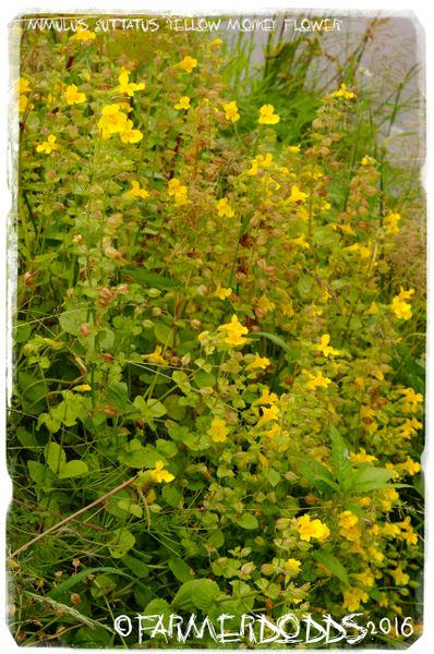 Mimulus guttatus yellow monkey flower ex co durham 300 seeds mimulus guttatus yellow monkey flower ex co durham 300 seeds mightylinksfo