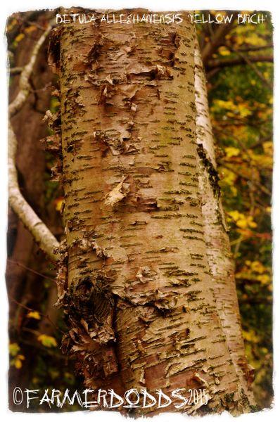 Betula alleghaniensis ...