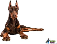 Doberman Laying Down