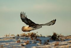 Hawk #2