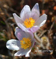 Pasque Flowers #1