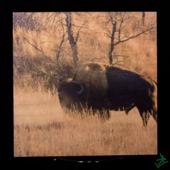 "8"" X 8"" Dusting Bison 2 Wood Photo"