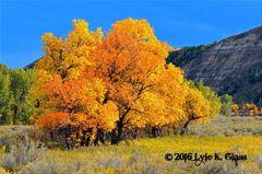Golden Ash Trees