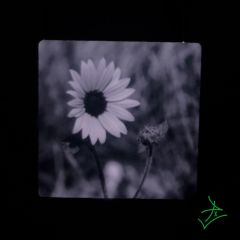"4"" X 4"" Black and White Daisy Aluminum"