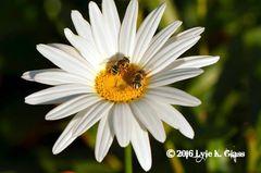 Bees on a Daisy