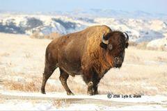 Bison Bull #1
