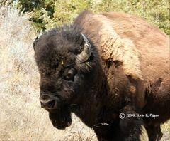 Bison Bull #2