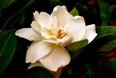 Gardenia Lily Soap