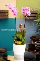 Two Pink Phalaenopsis Orchids in a White Ceramic Container