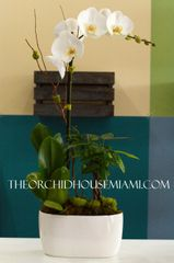 White Phaleanopsis Orchid and Money Tree
