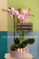 Pink and White Moth Phalaenopsis Orchid in a Round Container