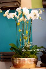 Five White Phalaenopsis Orchids in a Gold Ceramic Container