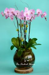 Luxury Pink Phalaenopsis Orchid in a Glass Ball