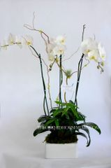 Two White Phalaenopsis Orchids and one Money Tree