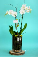 Two Orchid Phalaenopsis Orchid in a Glass Container