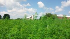Hemp Field Day at Oley