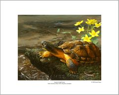 """America's Fragile Armor. North American Wood Turtle (Glyptemys insculpta)."" 16"" x 20"" Limited Edition Print"