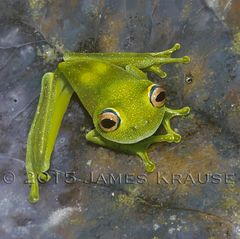 "Hypsiboas cinerascens, 20"" x 20"" Framed Original Painting"