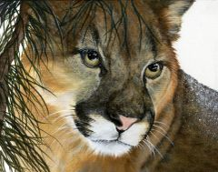 Cougar Gaze, Signed, and Matted Art Prints
