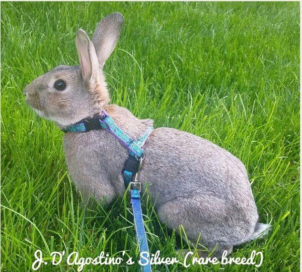 H-Style Rabbit Harness | Rabbit Hopping
