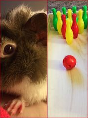Guinea Pig Bowling Alley