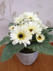 ICE WHITE GERBERA PLANTED ARRANGEMENT IN STYLISH METALLIC SILVER PLANTER