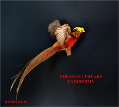 SALE GOLDEN PHEASANT FLYING UP AND TO THE RIGHT ILDNR#341-15