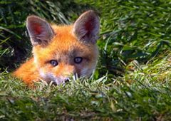 Young Chinese Fox - Fantastic Entities Ready to Bond with Their Keeper!